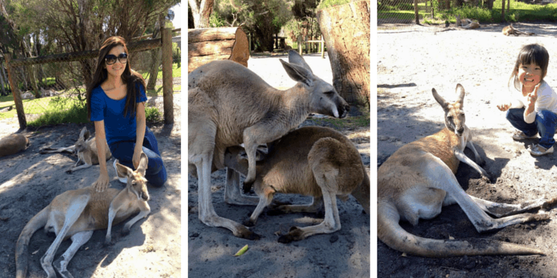 Kangaroos Collage